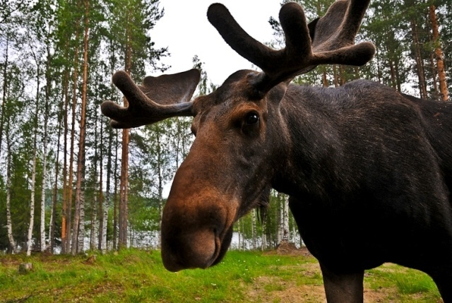 what is the niche of a moose