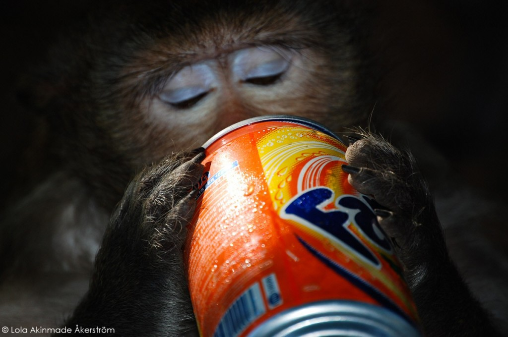 Cambodia - Monkey drinking Fanta photo by Lola Akinmade Åkerström