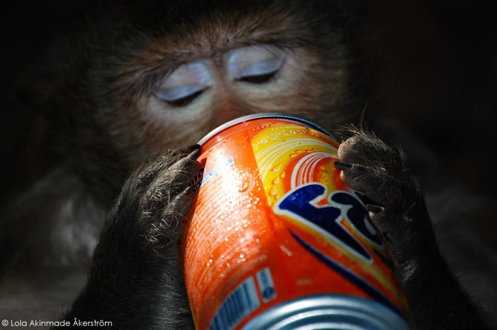 Cambodia - Monkey drinking Fanta photo by Lola Akinmade Åkerström