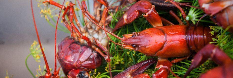 Crawfish in West Sweden