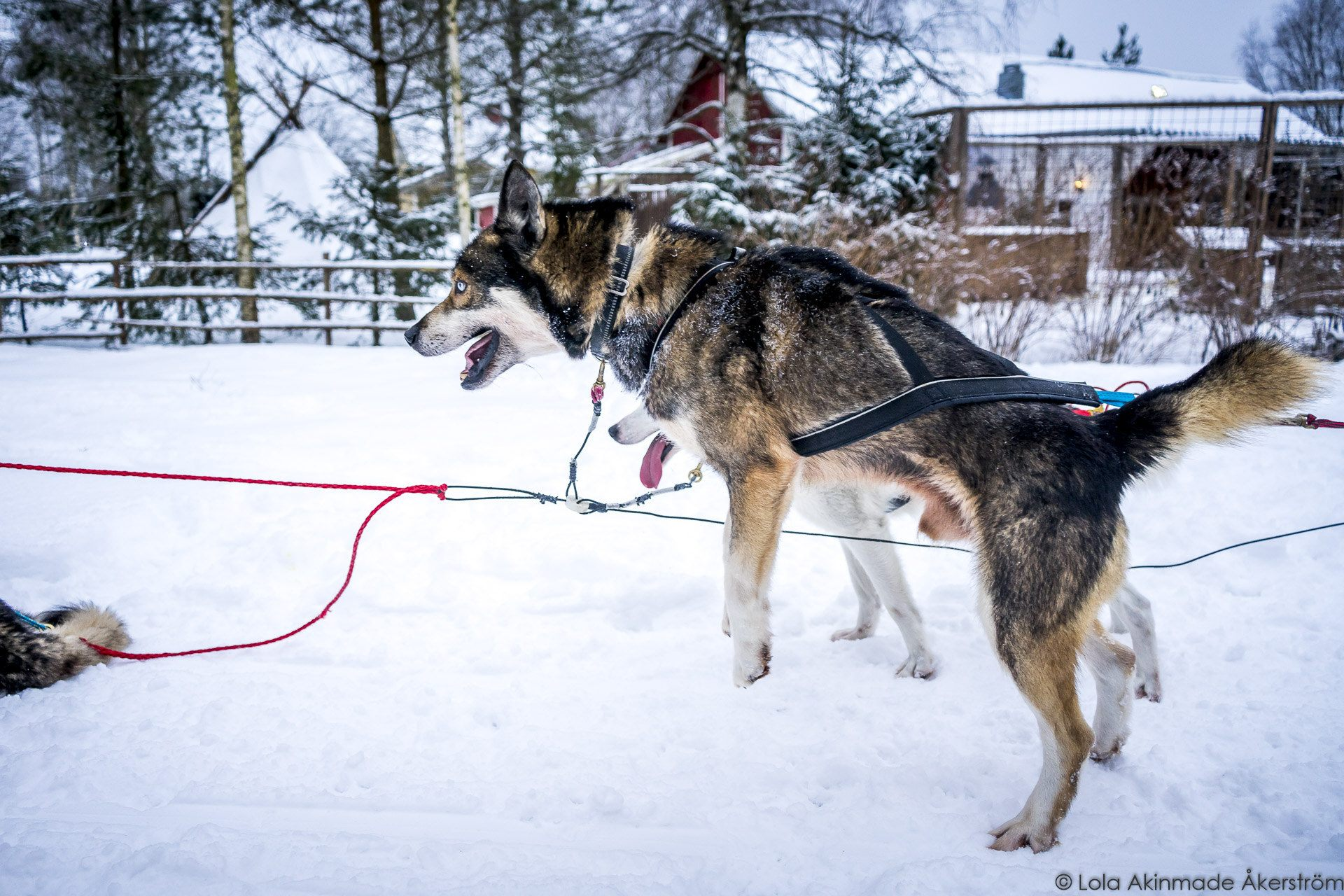 video photos husky sledding in finland geotraveler u0027s niche
