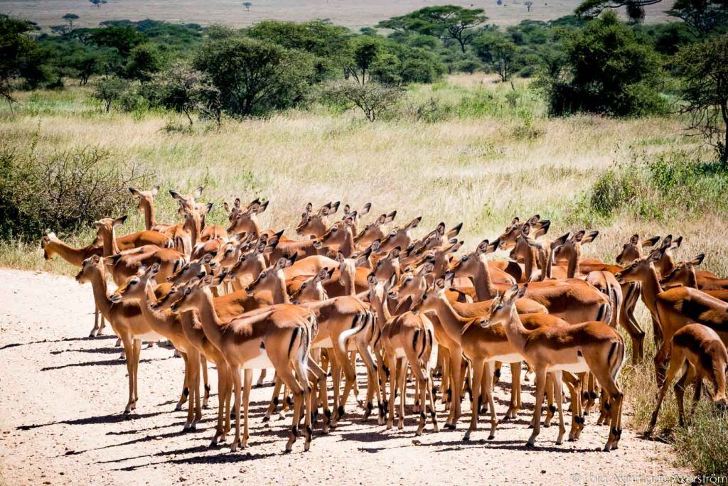 Serengeti safari, Tanzania safari, best safari in Africa, tanzania safari holidays, Tanzania holidays, luxury safari