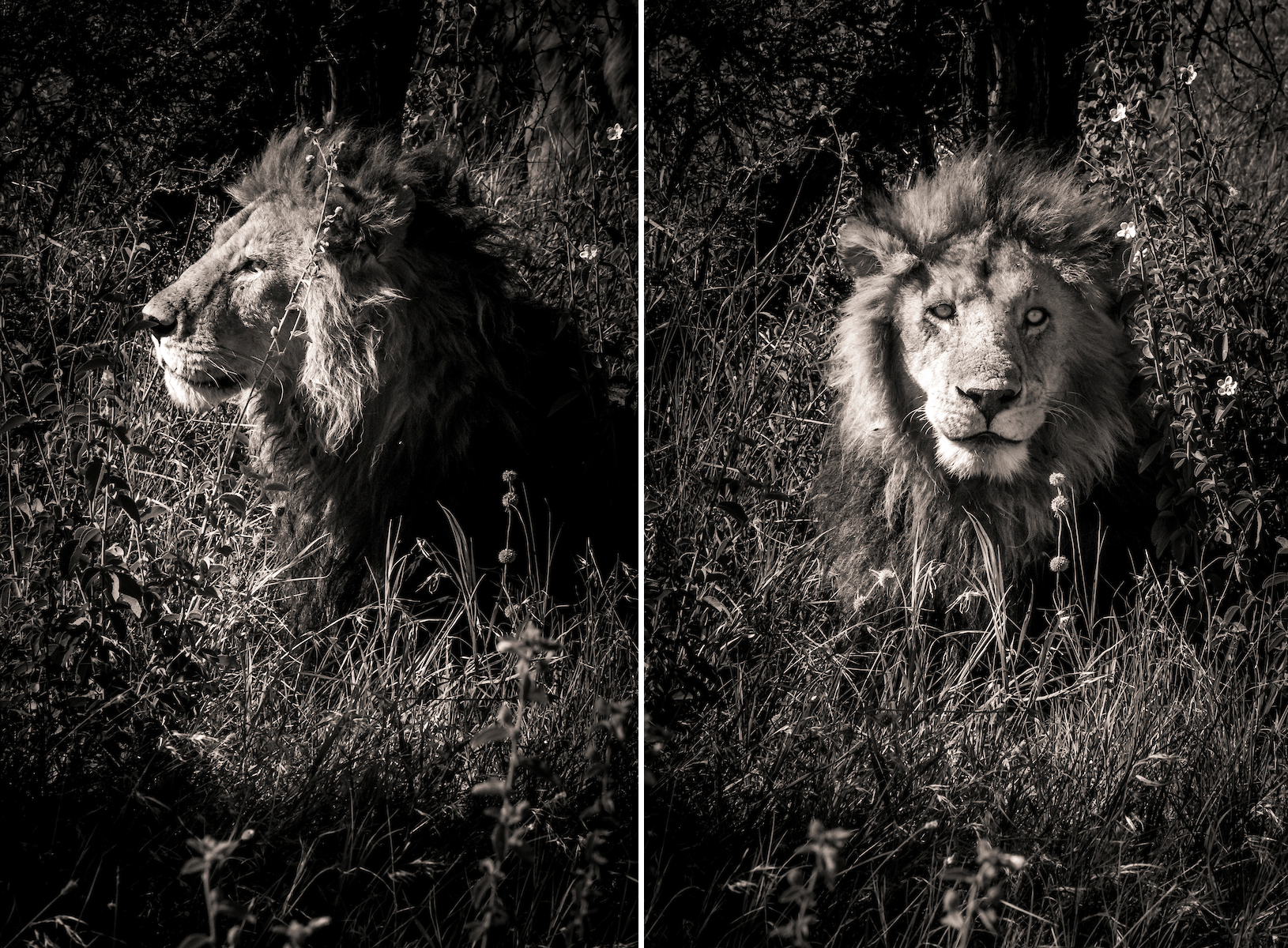 How to be confident - Lion in the Serengeti, Tanzania